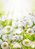 Beyaz papatya çiçekleri arka plan — Stok fotoğraf