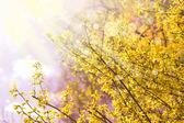 Blooming Forsythia — Stock Photo
