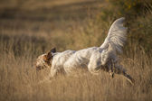 Side view of english setter — Stock Photo