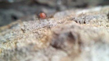 Strada di formiche — Video Stock