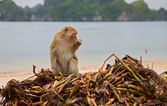 Monkey searching for food — Stock Photo