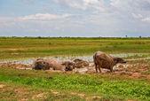 Water buffalos — Stock Photo
