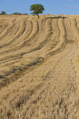 Wheat harvest, fields and landscapes — Stock Photo