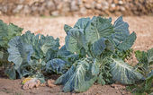 Cabbages — Stockfoto