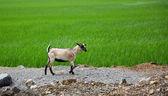 Plantaciones de arroz y cabra — Foto de Stock