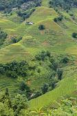 Ris plantage — Stockfoto