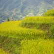 Stock Photo: Rice terraces