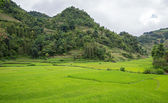 Plantacji ryżu — Zdjęcie stockowe