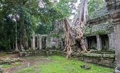 árbol en angkor wat — Foto de Stock