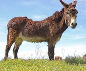 Portrait of a donkey — Stock Photo