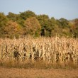 Royalty-Free Stock Photo: Corn crop