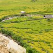 Rice plantation - Stock Photo
