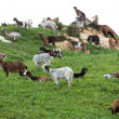 Flock of goat — Stock Photo