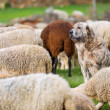 Foto Stock: Sheepdog