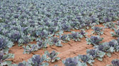 Red cabbage plantation — Stockfoto