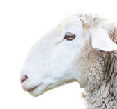 Sheep head — Stock Photo