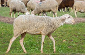 Sheep walking — Stock Photo