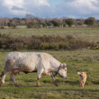 Stock Photo: White cow and sheepdog