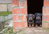 Small brown dachshunds — Stock Photo