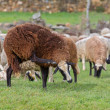 Sheep scratching - Stock Photo