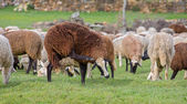 Sheep scratching — Stock Photo