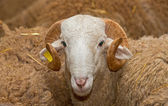 Ram head — Stock Photo