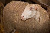 羊没有眼睛 — 图库照片
