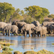 Elephants in Etosha — Foto Stock