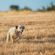 Setter running — Stock Photo