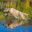 Setter and water — Stock Photo