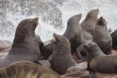 Leones marinos — Foto de Stock