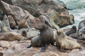 Sea Lions over the rocks — Stock Photo