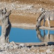 Zebra at waterhole — Stock Photo