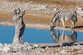 斑马在水坑 — 图库照片