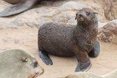 Deniz aslanları bebek — Stok fotoğraf