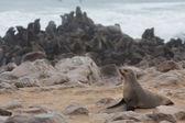 морские львы — Стоковое фото