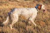 Brown Dotted Setter — Stock Photo