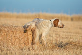 Brown Dotted Setter peeing — Stockfoto