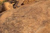 Klipspringer standing on rocks. — Stock Photo
