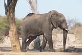 Walking elephant — Stock Photo