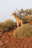 Giraffe in Namib — Stock Photo