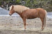 アイスランドの馬 — ストック写真