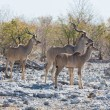 Stock Photo: Kudu antelope group