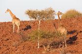 Giraffe in Namib — Stock Photo