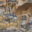 Impala antelope on the alert — Stock Photo