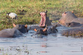 Hippopotamus group — Stock Photo