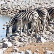 Stock Photo: Zebrat waterhole