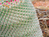 Mammillaria cactus — Stock Photo