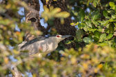 Nycticorax — Foto de Stock
