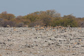 Springboks — Zdjęcie stockowe